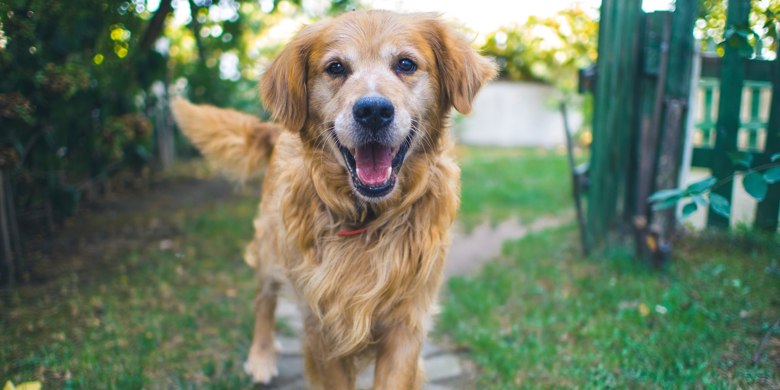 Common health conditions in senior dogs
